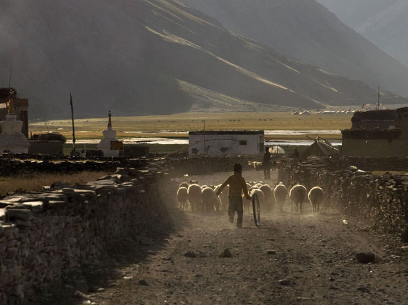 A young Changpa sets out with his herd.