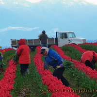 Skagit Valley Tulip Workers #2