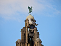 Liver Building and Seagull